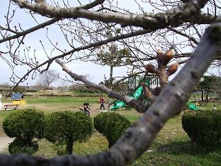 白鳥公園桜